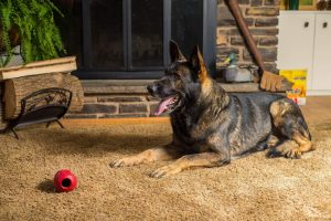Max Male German Shepherd