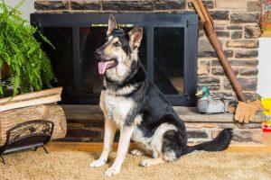 California Dreamin  Female German Shepherd