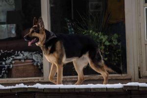 Ripley German Shepherd