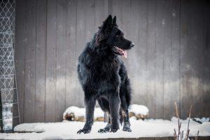 Vader German Shepherd
