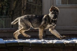 Sansa Female German Shepherd