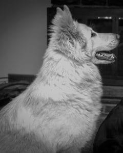 Female Dog Olenna Vonsila Kennels