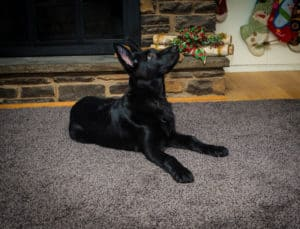 Male Dog Kreia Vonsila Kennels