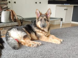 fin male german shepherd